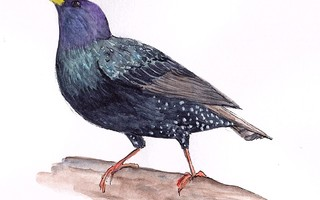 A European starling. MARY RICHMOND ILLUSTRATION  (photo: )