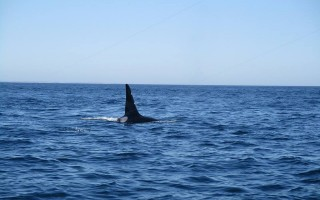 An orca was spotted off Chatham Monday by Bruce Peters of Capeshore Charters. COURTESY PHOTO 