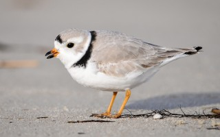 Fewer than 4,000 piping plovers can be found on the Atlantic coast.  LAMAR GORE/USFWS   (photo: Lamar Gore)