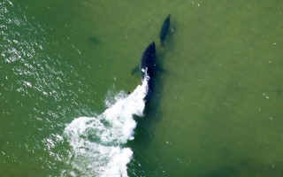 Last Wednesday Spotter pilot Wayne Davis caught this dramatic photo of a shark chasing a gray seal in the surf zone off the Nauset Inlet. The seal, we are told, got away. WAYNE DAVIS/ATLANTIC WHITE SHARK CONSERVANCY PHOTO  (photo: )
