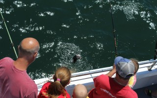 A black bass is landed on the party boat Capt'n Kid out of Saquatucket Harbor while fishing the newly formed reef off Harwich. WILLIAM F. GALVIN PHOTO  (photo: )