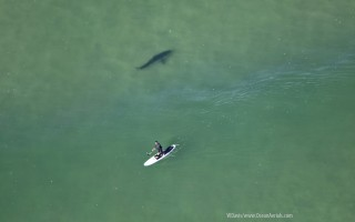 A stand-up paddleboarder appears unaware of a great white shark swimming in his path off Nauset Beach last Friday. WAYNE DAVIS/WWW.OCEANAERIALS.COM PHOTO  (photo: )