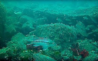 Schools of black sea bass, cunner and tautog swim around the artificial reef. MASS DMF PHOTO  (photo: Mass DMF)
