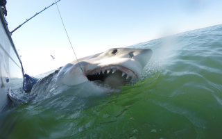 Hunter, a great white shark tagged off South Carolina.  PHOTO COURTESY ATLANTIC WHITE SHARK CONSERVANCY/DIVISION OF MARINE FISHERIES  (photo: )