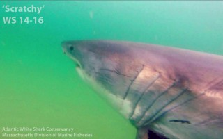 Scratchy was the first great white shark detected this year. He registered June 2 on a receiver buoy off Monomoy. ATLANTIC WHITE SHARK CONSERVANCY/MASS. DIVISION OF MARINE FISHERIES PHOTO  (photo: )