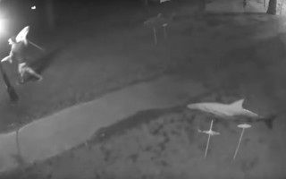 Suspect is seen taking a shark from the Sharks in the Park exhibit in this surveillance video.  (photo: )