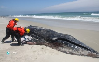 Experts examine a humpback whale on the shore of Monomoy Island last week. IFAW PHOTO  (photo: International Fund for Animal Welfare)