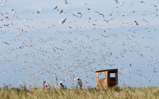 Researchers walk through a tern colony on the Monomoy National Wildlife Refuge. FILE PHOTO  (photo: Alan Pollock)