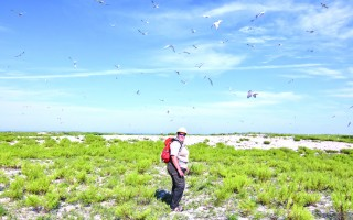 Kate Iaquinto, a wildlife biologist for the U.S. Fish and Wildlife Service, leads the way toward where seabirds, including common and roseate terns, are nesting at the Monomoy Wildlife Refuge.  KAT SZMIT PHOTO  (photo: Kat Szmit)