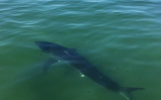 This shark was photographed last Thursday just off Nauset Beach. The increasing incidence of shark sightings in the area is prompting beach officials to rethink how they approach water rescues. ATLANTIC WHITE SHARK CONSERVANCY PHOTO  (photo: Atlantic White Shark Conservancy)
