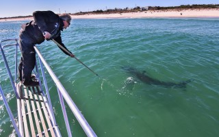 State shark biologist Greg Skomal uses a digital camera on a pole to film and photograph a white shark off Nauset Beach on Oct. 20.  KAT SZMIT PHOTO  (photo: Kat Szmit)