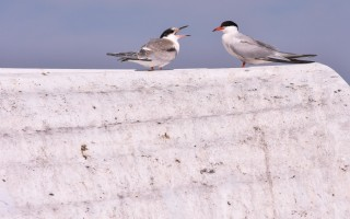 Terns on the Monomoy National Wildlife Refuge last summer. South Monomoy Island hosts the largest common tern colony on the eastern seaboard, with 11,723 nesting pairs this past season. KAT SZMIT PHOTO  (photo: )
