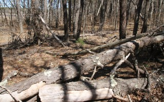 The forest at Bell's Neck conservation area is littered with tree trunks and limbs downed by this winter's storms. ALAN POLLOCK PHOTO  (photo: Alan Pollock)
