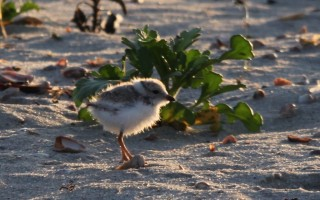 Piping Plovers and chicks on Red River Beach on June 18.  KATHLEEN MAGNUSSON PHOTOS  (photo: Kathleen Magnusson)