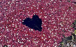 This heart shape in the center of a cranberry bog will be one of the images represented on the center of the Harwichopoly board game the Harwich Chamber of Commerce is in the process of making. The games are expected to go on sale at the end of August or beginning of September. PHOTO COURTESY HARWICH CHAMBER OF COMMERCE  (photo: )