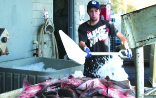 Dogfish being iced at the Chatham fish pier. Several universities now feature the fish on their dining hall menus. FILE PHOTO  (photo: )
