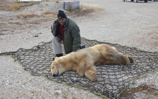 Harwich resident and Massachusetts Environmental Police Lieutenant Kevin Clayton with a sedated polar bear about to be released into the wild in Churchill, Manitoba. COURTESY PHOTOS  (photo: )