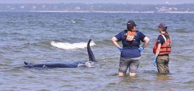 Vente chaude 2019 prix limité remise chaude Pilot Whale Strands, Dies At Harding's Beach   Cape Cod ...