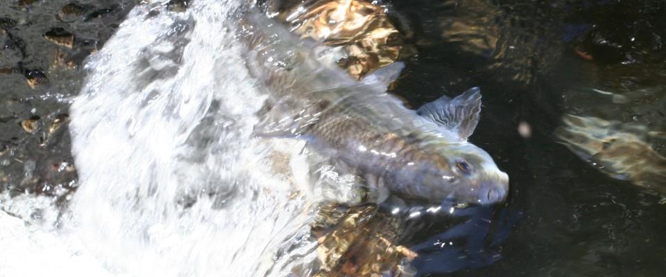World Fish Migration Day Celebration At Herring Run | Cape Cod Chronicle
